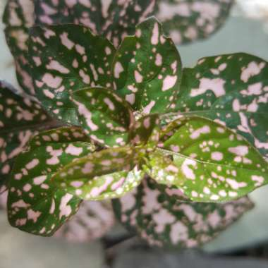 Polka Dot Plant 'Pink Splash'