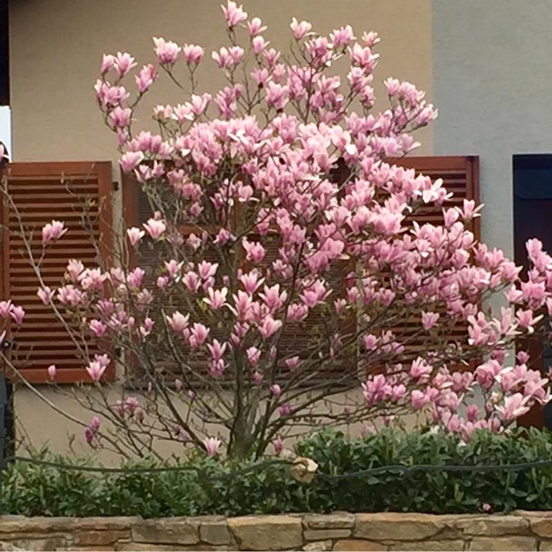Magnolia liliiflora (Tulip Magnolia)   A Fascinating Green World