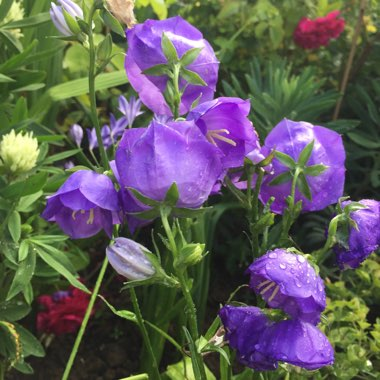 Bellflower 'Blue Bloomers'