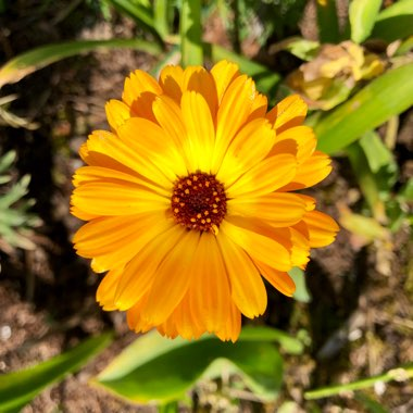 Calendula officinalis 'Art shades Mix'