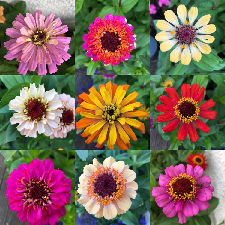 Plant image Zinnia elegans 'Scabious-Flowered Mix'