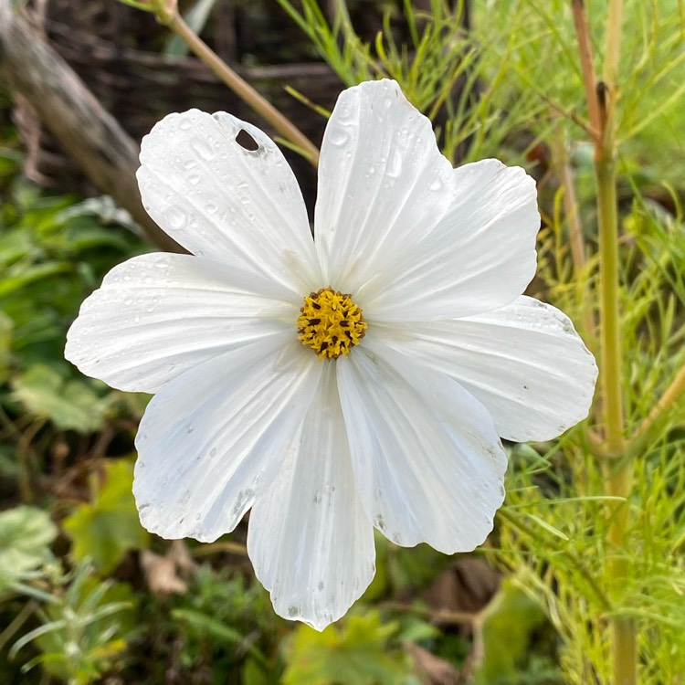 Plant image Cosmos Purity