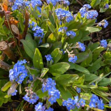 Forget-me-not 'Blue Ball'