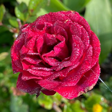 Rose 'Ruby Wishes'