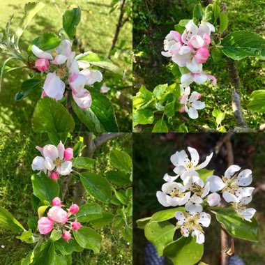 Apple Tree (Unknown variety)