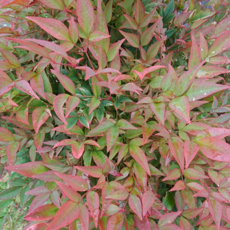Plant image Nandina domestica 'Fire Power'