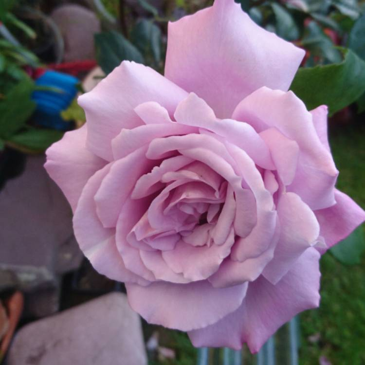 Plant image Rosa 'Twice In A Blue Moon'
