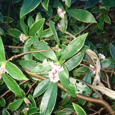 Gold-edged winter Daphne