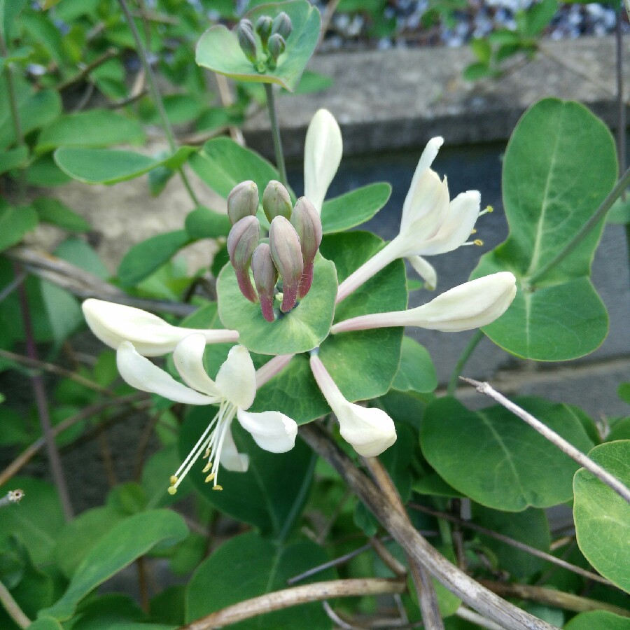 Common Honeysuckle