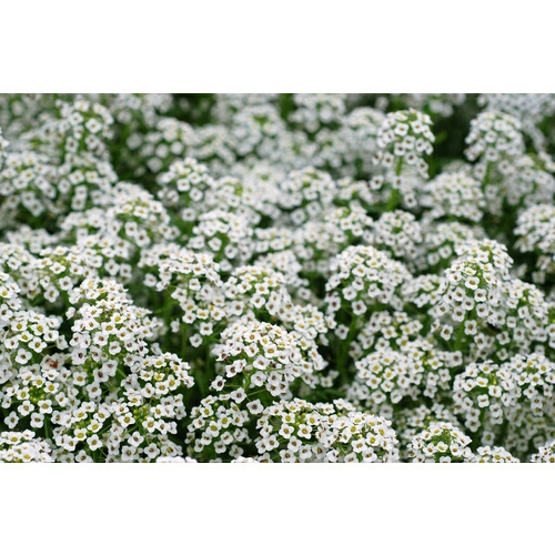 Plant image Lobularia maritima procumbens 'Carpet Of Snow' syn. Alyssum maritimum 'Carpet Of Snow'