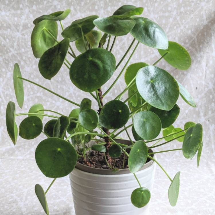 Plant image Pilea peperomioides