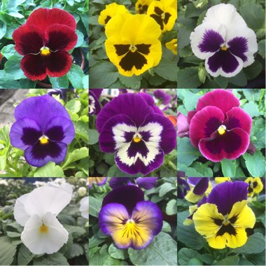 Pansy (unknown variety)