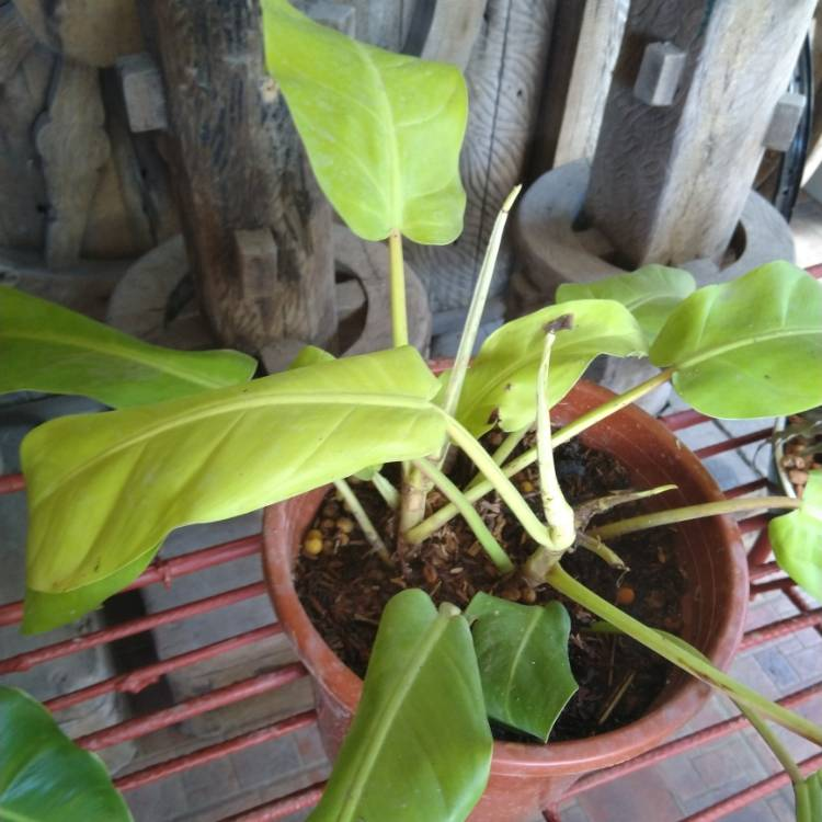 Plant image Philodendron 'Lemon Lime' syn. Philodendron x domesticum 'Lemon Lime'
