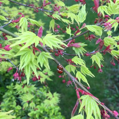 Acer Palmatum (Unknown Variety)