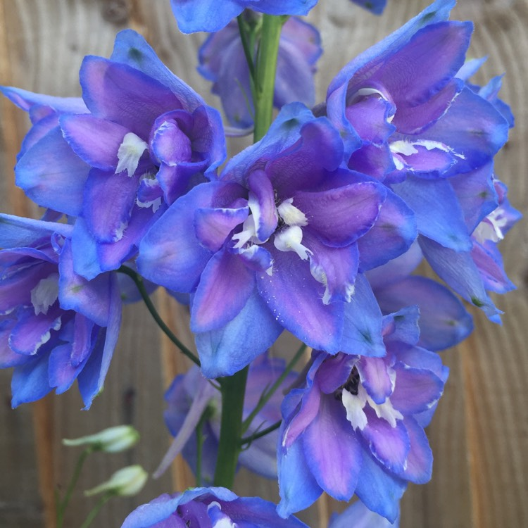 Plant image Delphinium 'Magic Fountains Sky Blue White Bee'