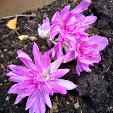 Meadow Saffron 'Waterlily'