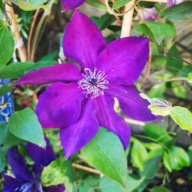 Clematis 'Amethyst Beauty'™