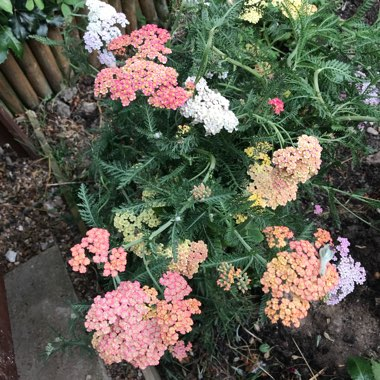Yarrow 'Summer Pastels'