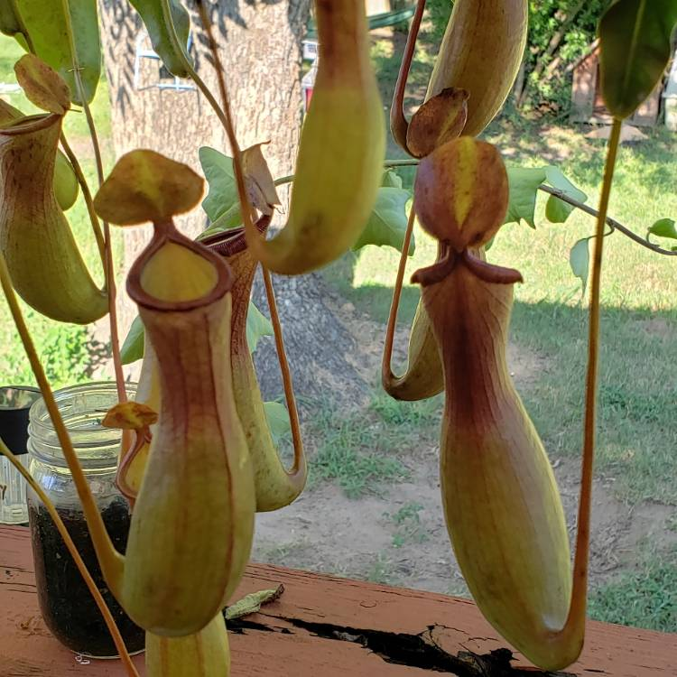 Plant image Nepenthes 'Alata'