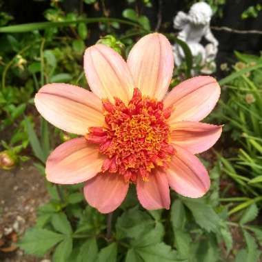 Dahlia 'Totally Tangerine' (Anemone-flowered)