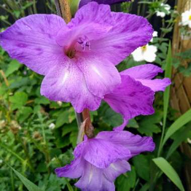 Gladioli 'Purple Mate'