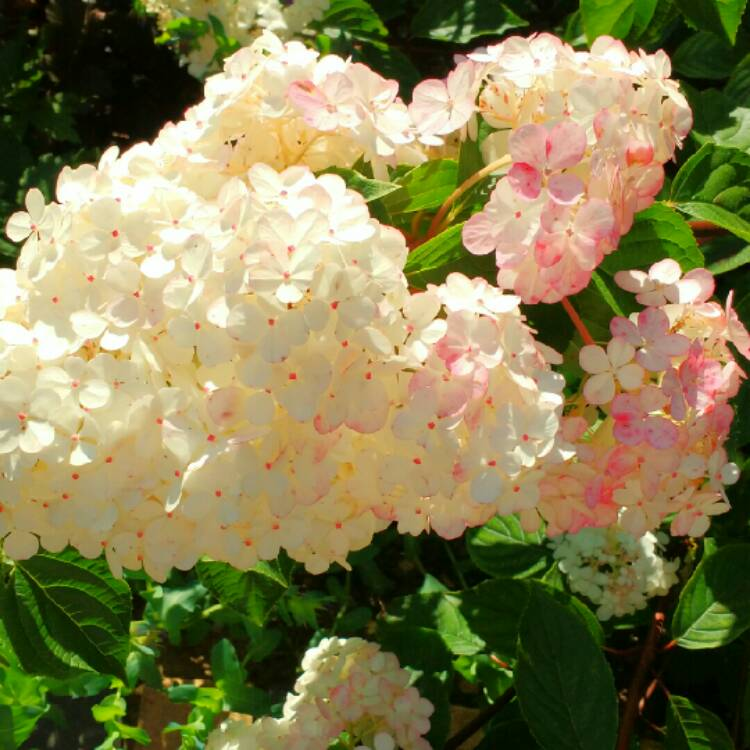 hydrangea paniculata 39 vanille fraise 39 syn 39 renhy 39 hydrangea 39 vanille fraise 39 uploaded by. Black Bedroom Furniture Sets. Home Design Ideas