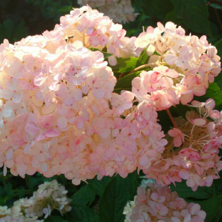Plant image Hydrangea paniculata 'Vanille Fraise' (syn.'Renhy')