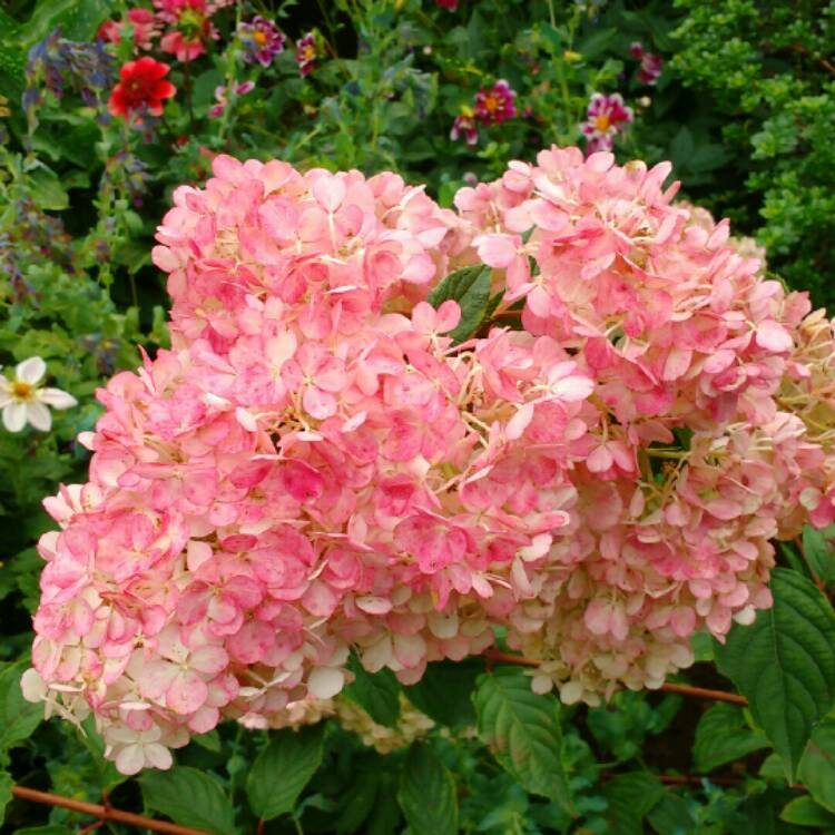 hydrangea paniculata 39 vanille fraise 39 syn 39 renhy. Black Bedroom Furniture Sets. Home Design Ideas