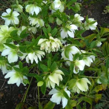 Hellebore 'Double White'