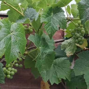 White Grape Vine 'Vroege van der Laan'