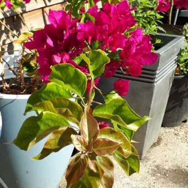 Bougainvillea 'Vera Deep Purple'