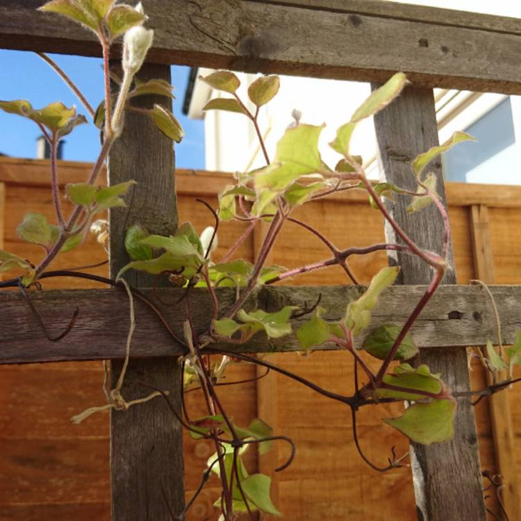 Plant image Clematis (Pruning Group 1)