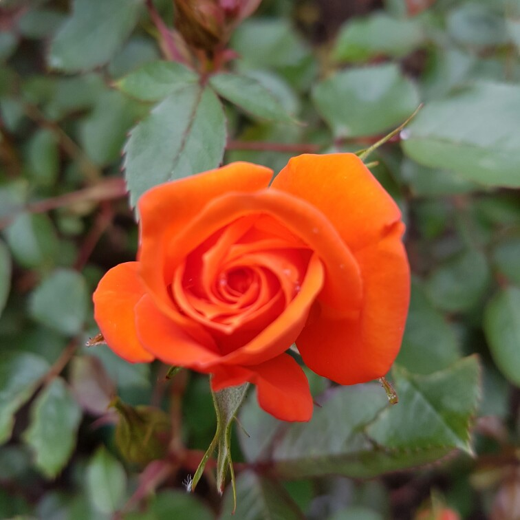 Plant image Rosa 'Fryessex' syn. Rosa 'Wildfire'