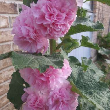 Alcea Rosea 'Chaters Double Pink'