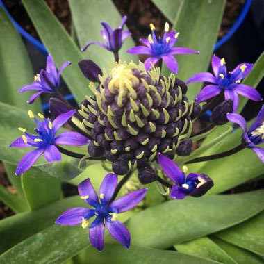 Scilla peruviana 'Sapphire Blue' (Carribean Jewels Series)