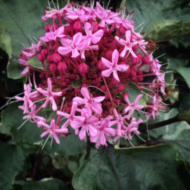 Clerodendrum bungei 'Pink Diamond'