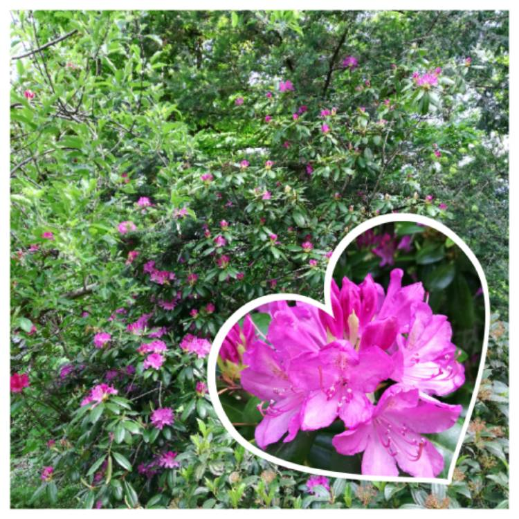 Plant image Rhododendron