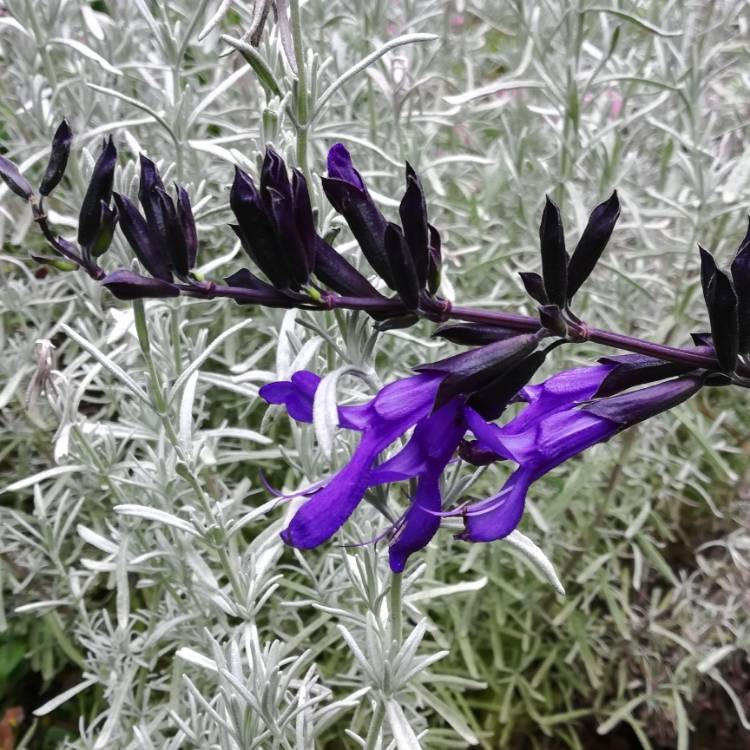 Plant image Salvia Guaranitica 'Black and Blue'