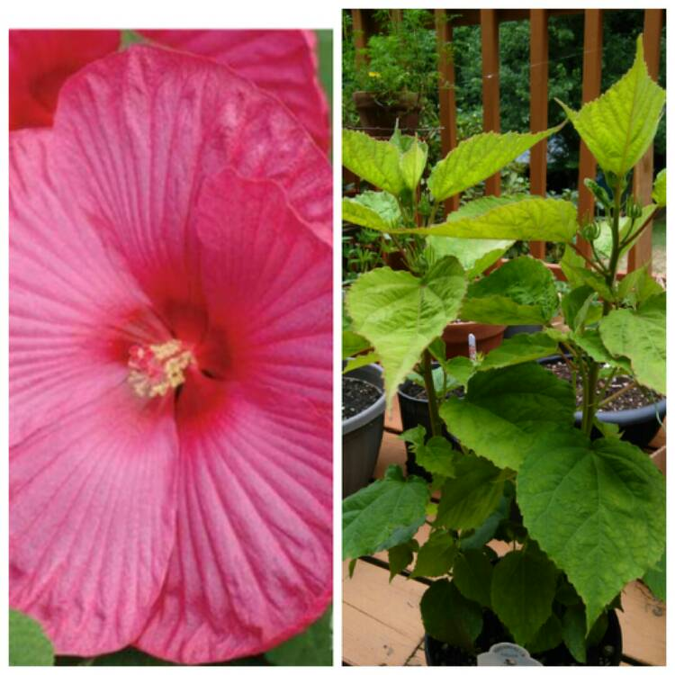 Hibiscus Moscheutos Luna Rose Hibiscus Luna Rose Uploaded By