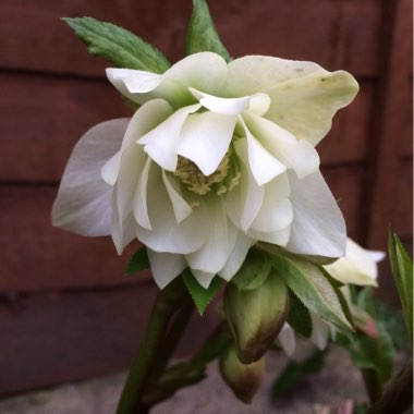 Helleborus x hybridus 'Harvington Double White'