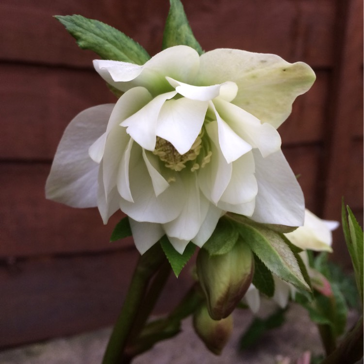 Plant image Helleborus x hybridus 'Harvington Double White'