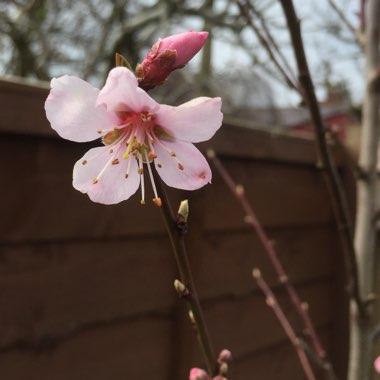 Almond Tree 'Robijn'