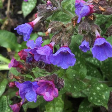 Common Lungwort