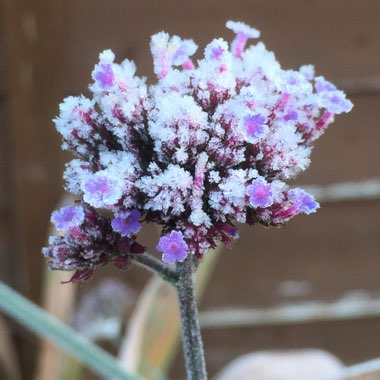 Verbena 'Lollipop'