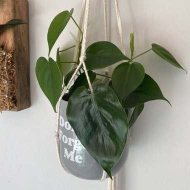 Heart-leafed Philodendron