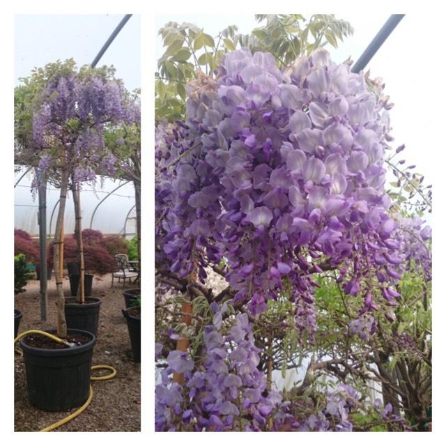 Plant image Wisteria sinensis (Unknown variety)