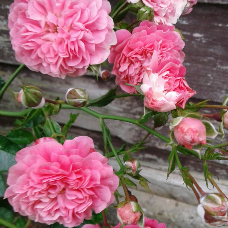 Plant image Rosa (Unknown variety)-Climbing roses