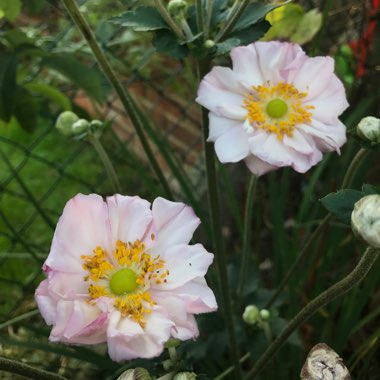 Japanese Anemone Queen Charlotte