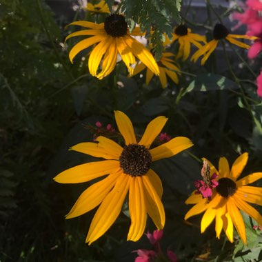 Coneflower 'Goldsturm'