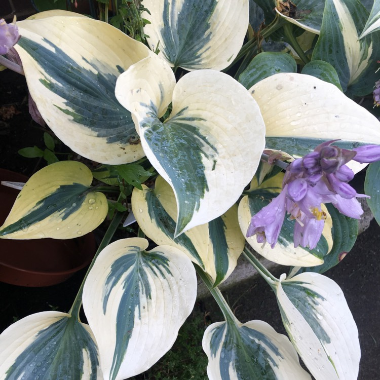 Plant image Hosta 'Autumn Frost' (Shadowland Series)
